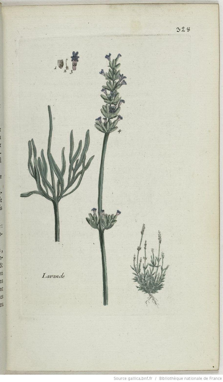LAVANDULA - Lavandula spica. La lavande / Lavande femelle
