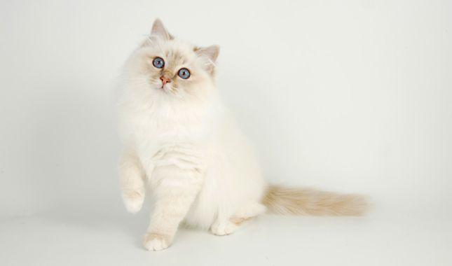 Birman Cat Breed Information Cat Breeds Birman Cat Cat Species