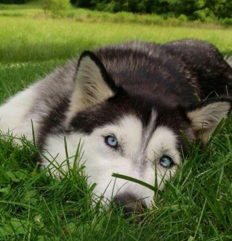I M Sleepy Siberian Husky Puppies Siberian Husky Animals