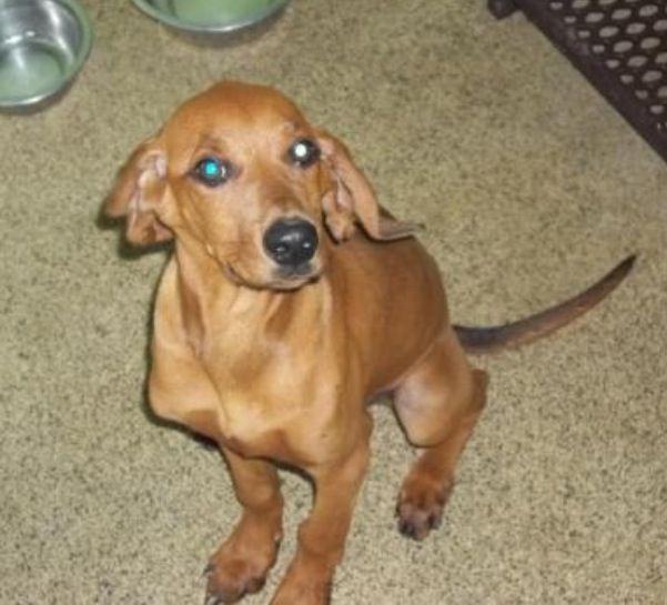 Adopt Jesse On Pet Adoption Center Adoption Redbone Coonhound