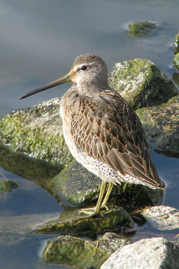 Long-billed Dowitcher by Frank Townsley