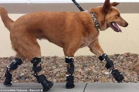 Naki'o is the world's first dog to be fitted with a complete set of bionic paws. They work naturally to allow him to run, jump and play like any other dog. Naki'o lost his paws to frostbite as a puppy after he was abandoned in the Nebraska winter by his owners. He was adopted by vet technician Christie Tomlinson. As he grew, Naki'o had difficulty getting around on his stubs, resorting to crawling on his stomach. So last year Tomlinson decided to get him prosthetics. Click to view video.