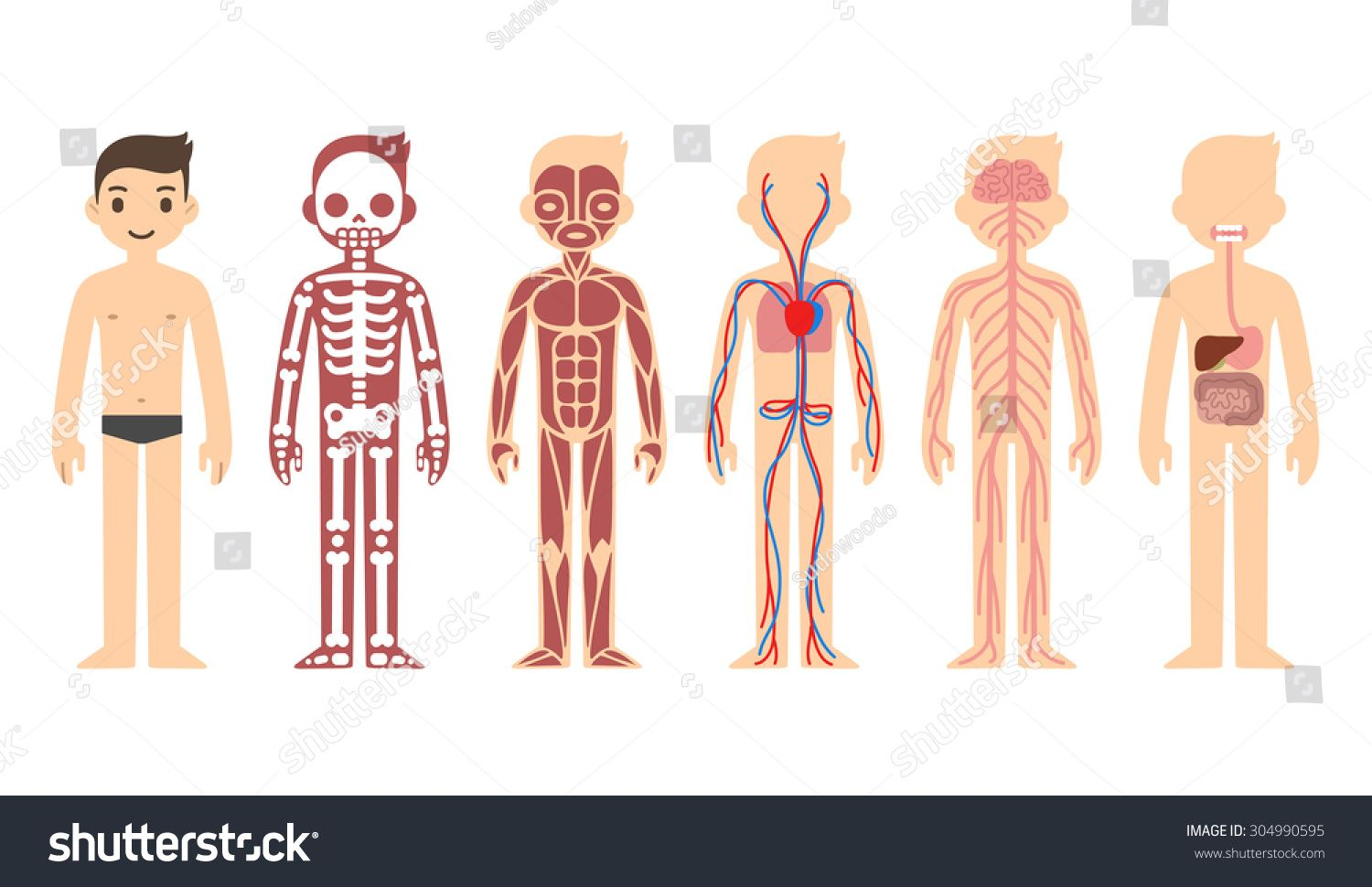 Body Anatomy Chart Skeletal Muscular Circulatory Nervous And