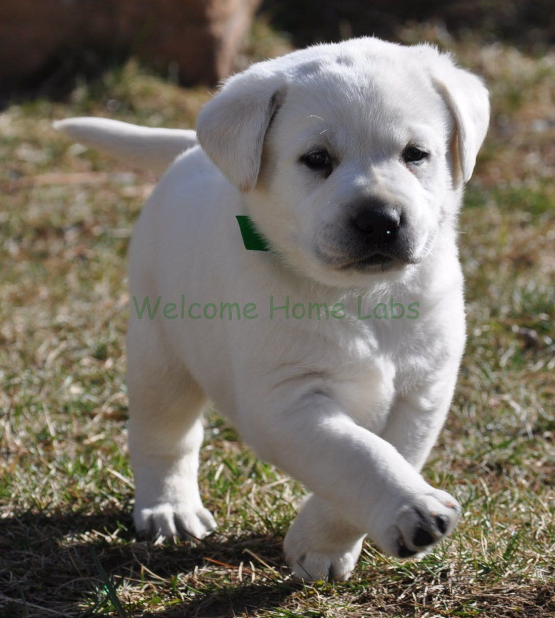 Sparky Waffle The Labrador Puppy From Welcome Home Labs Mn Labrador Puppy Puppies Labrador