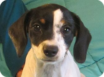 Hagerstown Md Beagle Rat Terrier Mix Meet Twinkie A Puppy For
