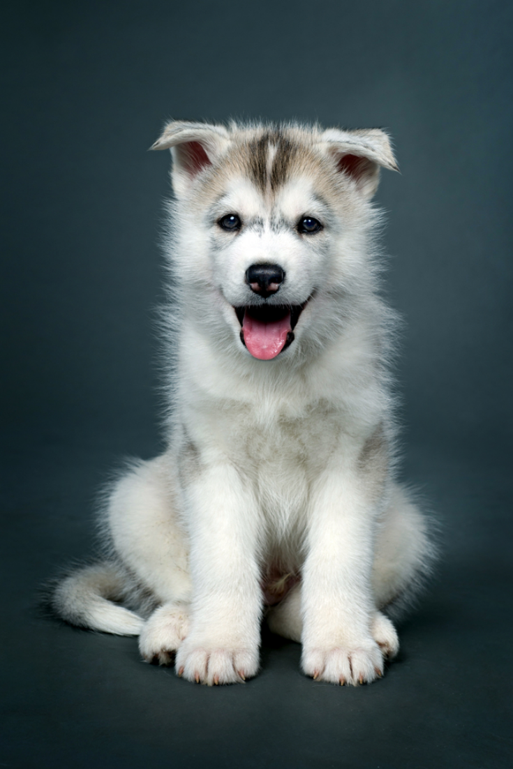 Puppy Of Siberian Husky Siberianhusky In 2020 Husky Siberian Husky Yorkshire Terrier