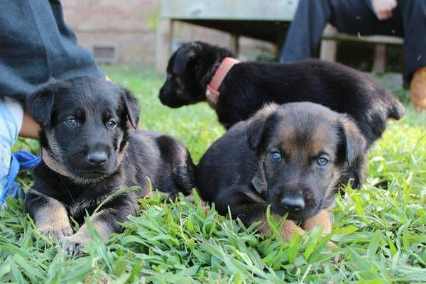 Litter Of 7 Doberman Pinscher German Shepherd Dog Mix Puppies For