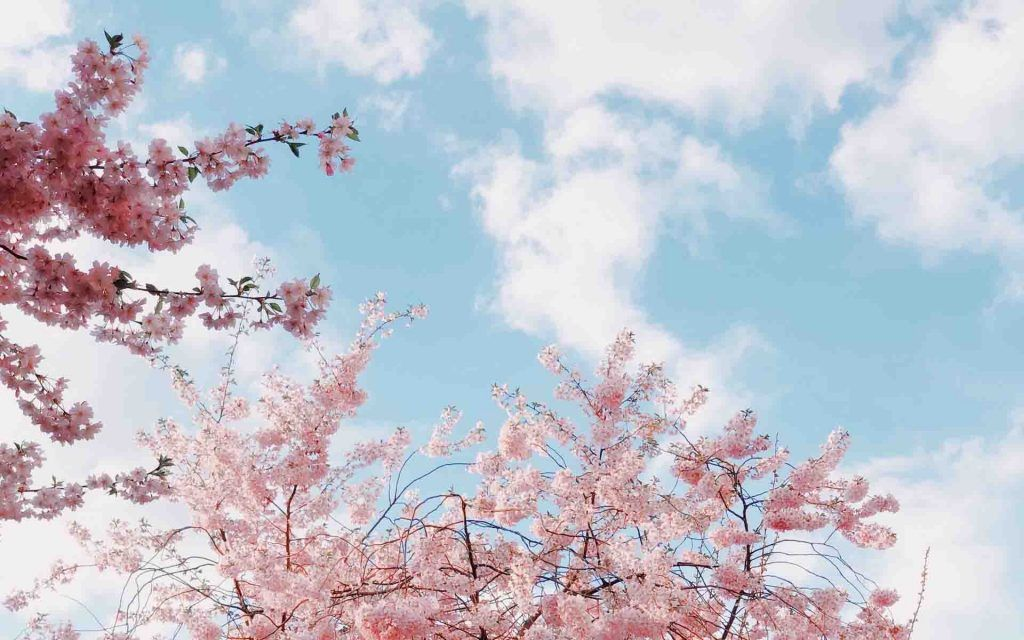 Cherry Blossoms Spring Wallpaper Spring Wallpaper Hd Aesthetic Desktop Wallpaper Cherry blossom wallpapers hd