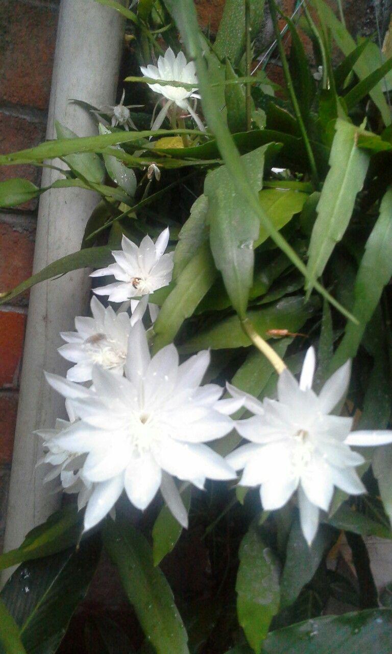 Una belleza de Galanes de noche #flor #jardin #galandenoche