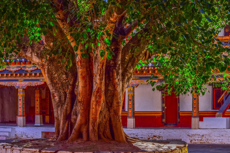 National Tree Banyan in 2020 Banyan tree, Tree, Tree