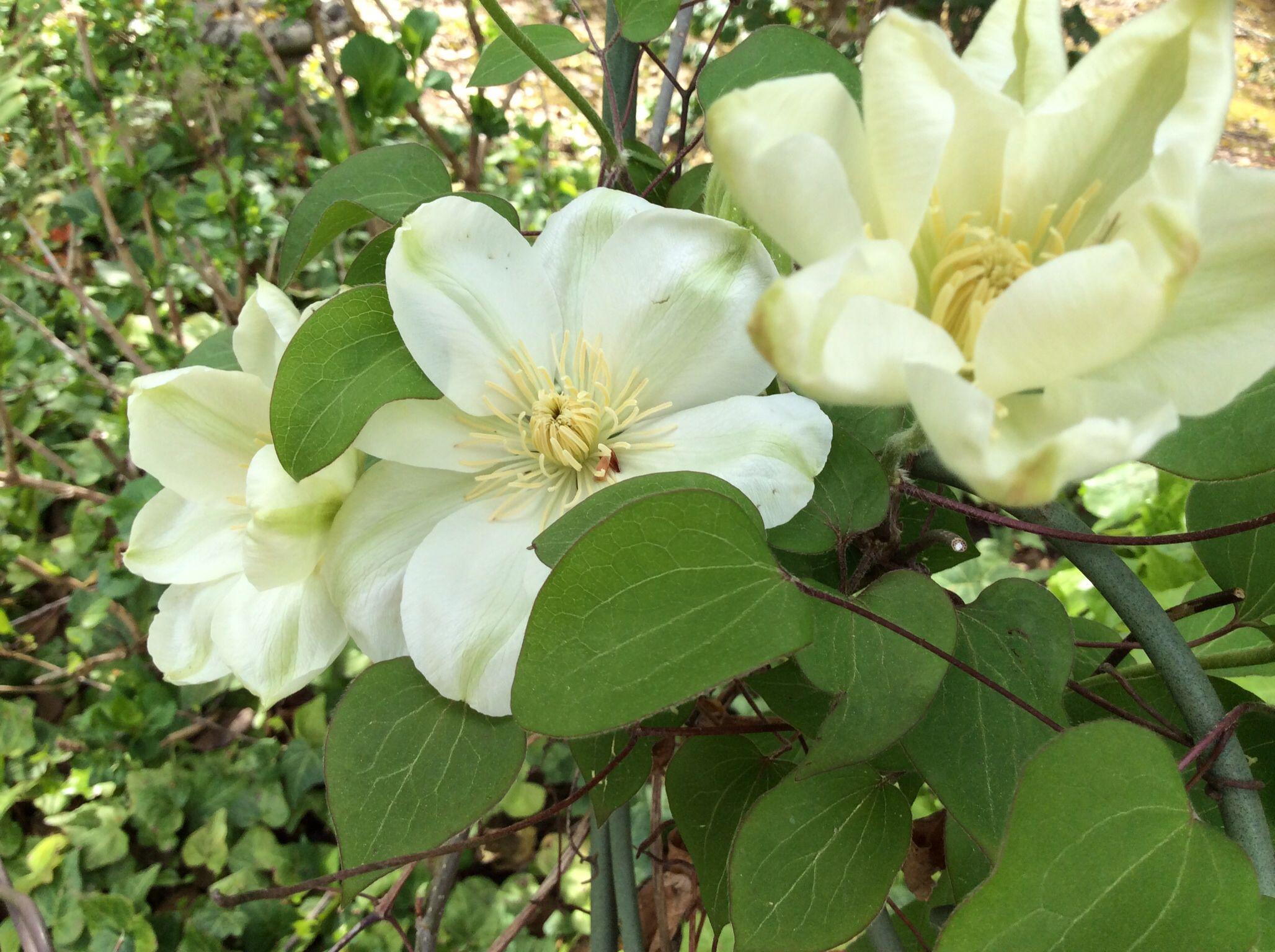 Clematis from my garden :)