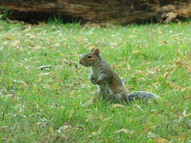 Squirrels @Coombe Abbey Park