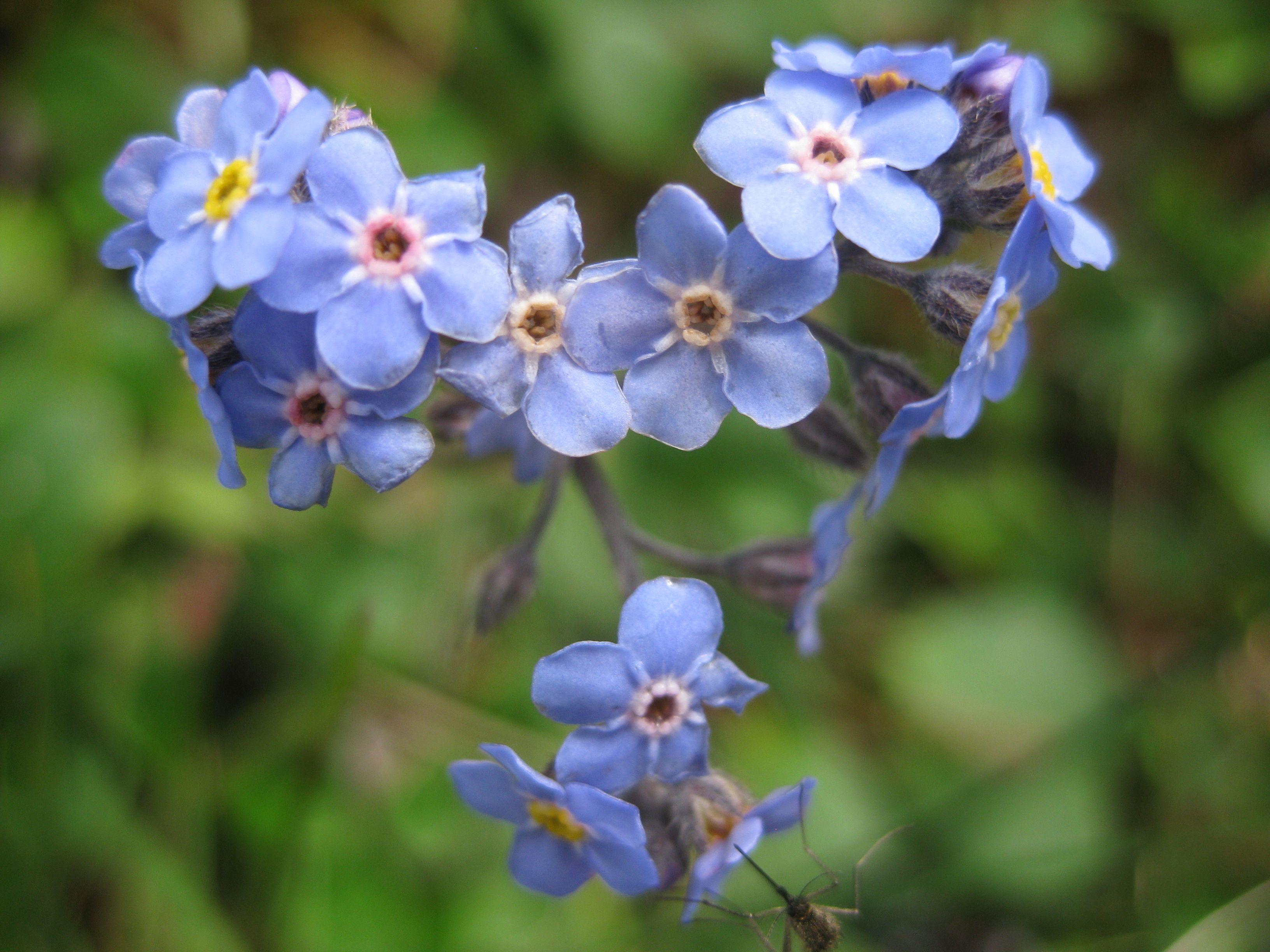Alaskas state flower mountain eritrichium