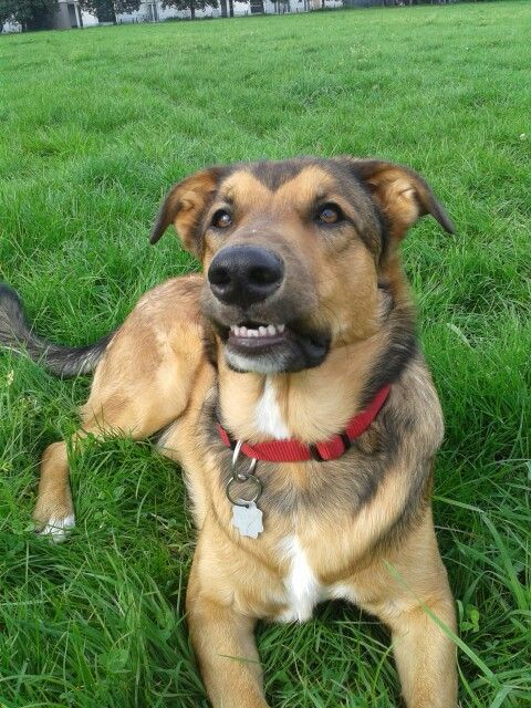 My Shollie German Shepherd Dog Collie Mix