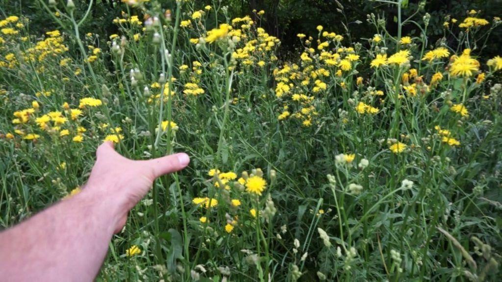 Pepawa Dwuletnia Roslina Niedoceniana Plants