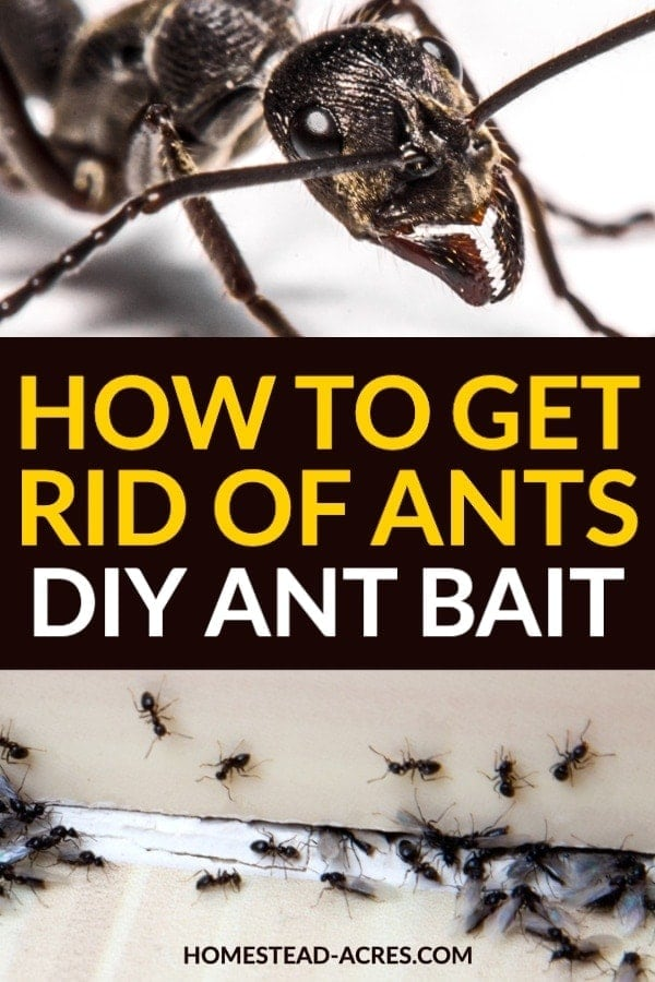 How To Get Rid Of Ants With Borax In 2020 Get Rid Of Ants Rid Of Ants Ants