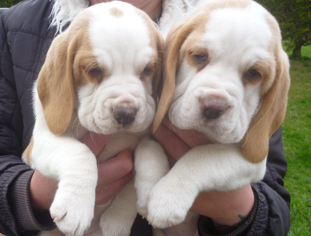 Pedigree Beagle Puppies For Sale Brighton East Sussex Gumtree