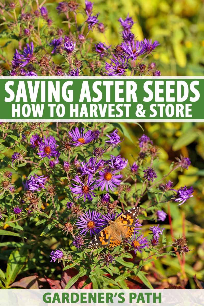 When And How To Save Native Perennial Aster Seeds Gardener S Path Perennials Seeds Plants
