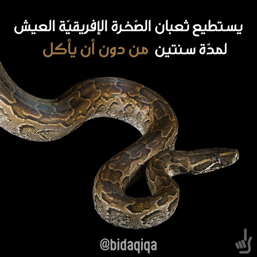 يستطيع ثعبان الص خرة الإفريقي ة العيش ل مد ة سنتين من دون أن يأكل أفعى قاتلة حقائق حقيقة بدقيقة حيوانات Snake Animals Oni