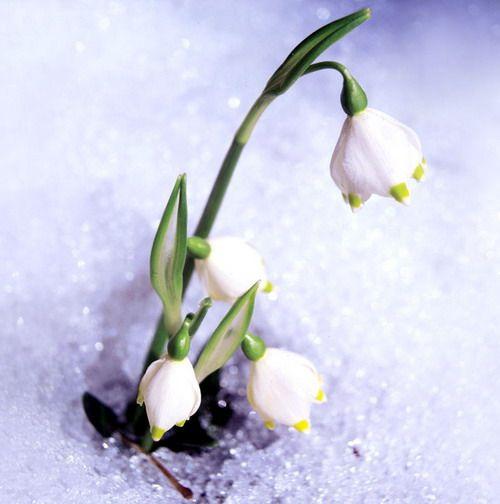fiori inverno: bucaneve