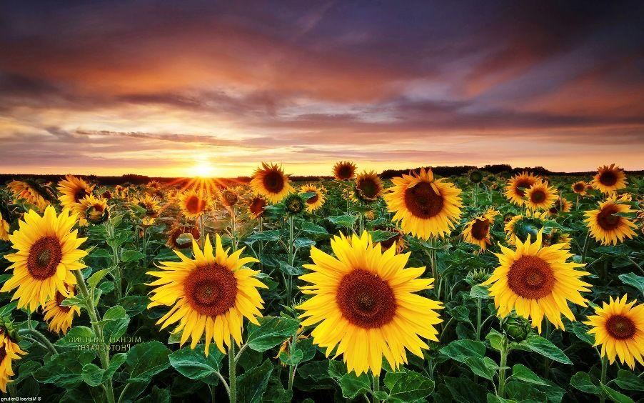 Gambar Bunga Matahari Saat Sunset Bunga Matahari