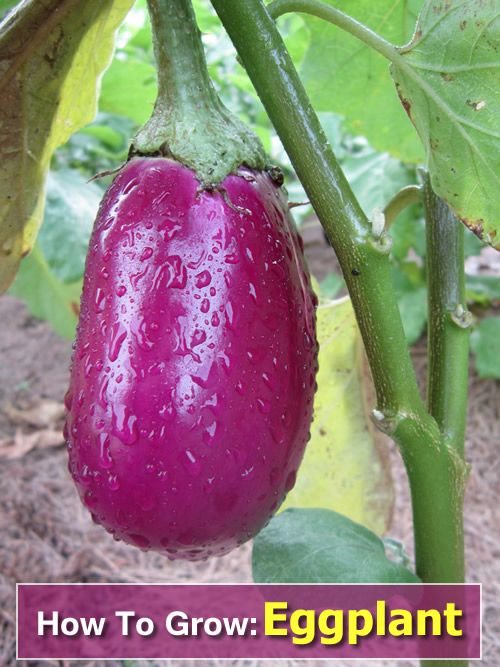 How To Grow Eggplant From Seeds Or Seedlings In Your Own Garden Gardening Homesteading Growing Eggplant Aquaponics Greenhouse Growing Vegetables