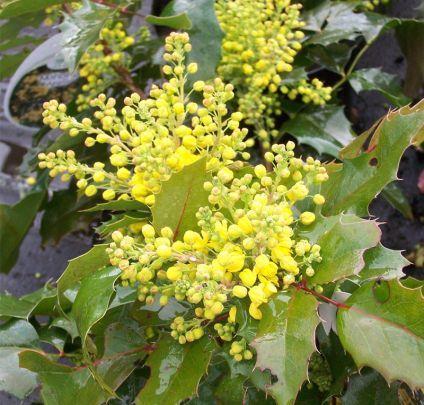 Mahonia Aquifolium Apollo Oregon Grape Online From Jacksons Nurseries Birds Ppl Can Eat The Berries