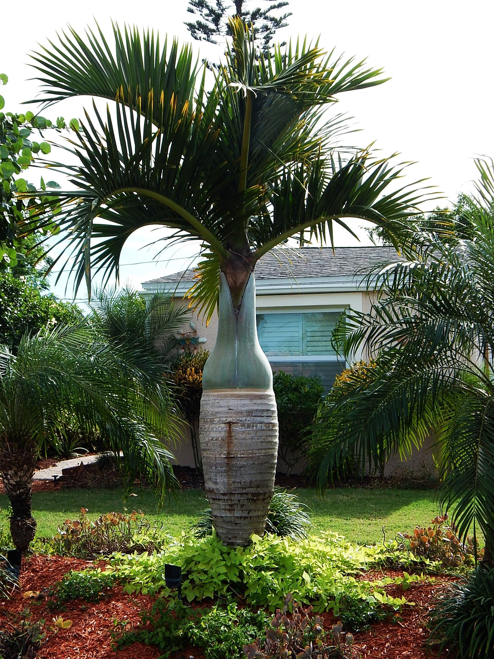The Spindle Palm Hyophorbe Verschafeltii In A Residential Yard Tropical Garden Design Tropical Plants Palm Trees