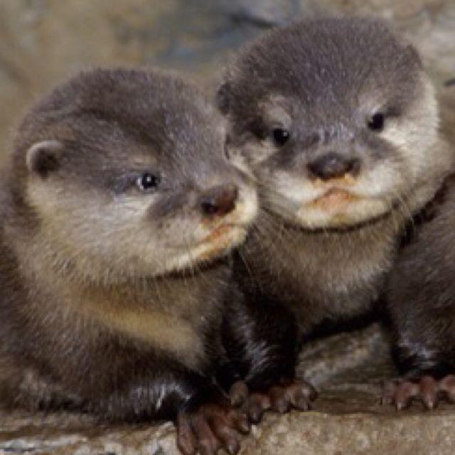 baby otters cute fun pinterest