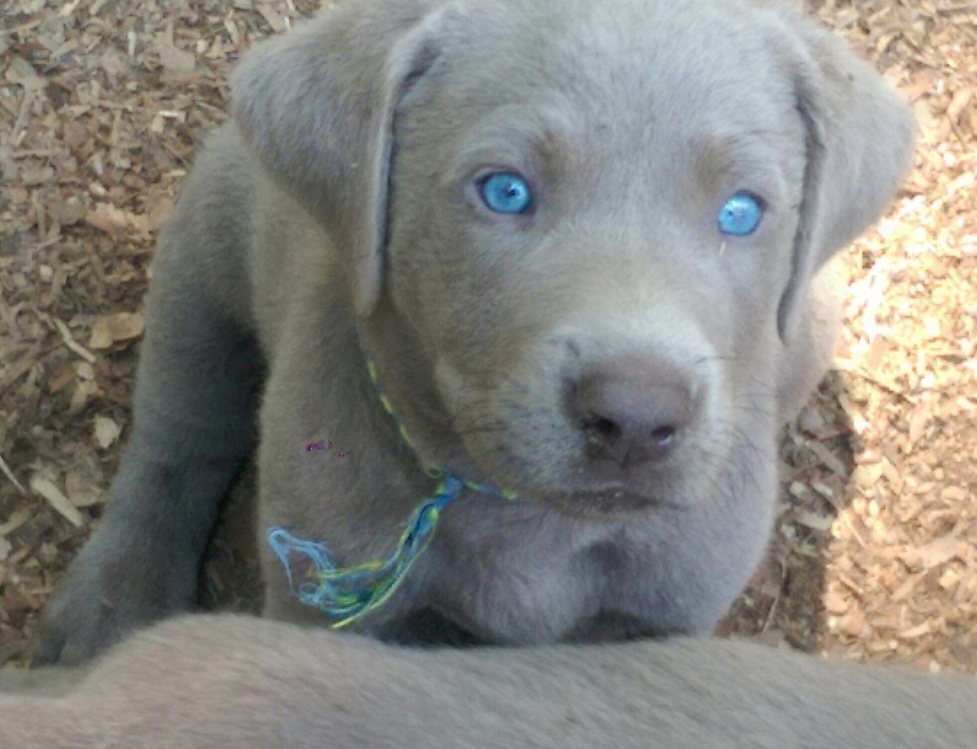 english labrador retriever puppies for sale in pa