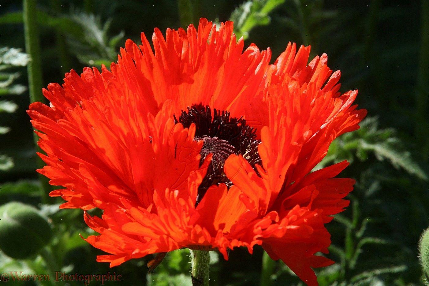 Red oriental poppy papaver orientale flowerwow flowers red oriental poppy papaver orientale flowerwow mightylinksfo