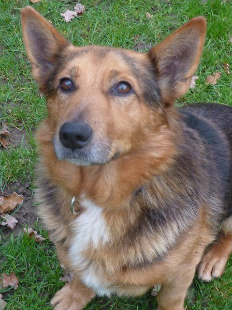 Yogi 3 Year Old Male Corgi Cross German Shepherd Available For