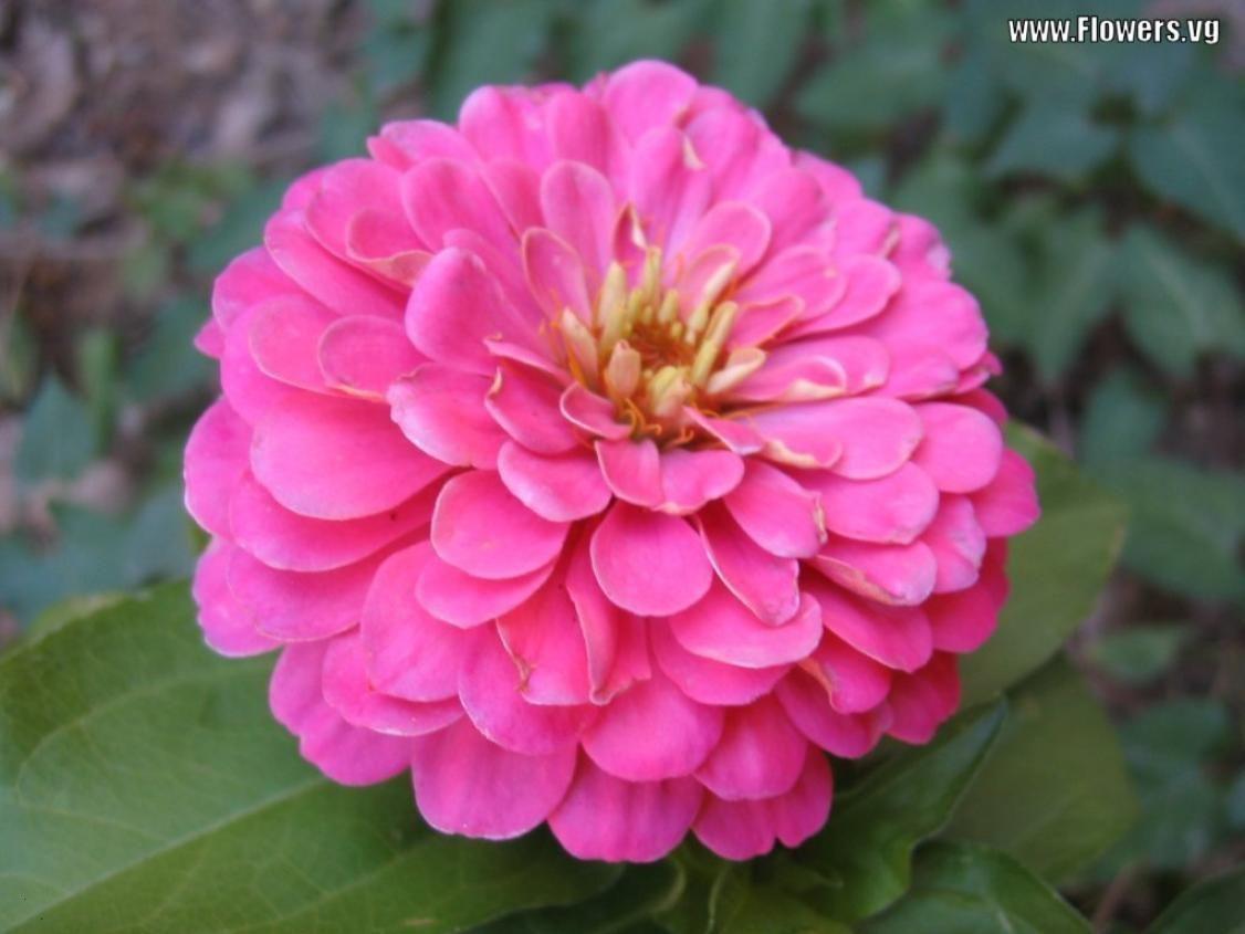 zinnia flower pictures | Zinnia Flowers