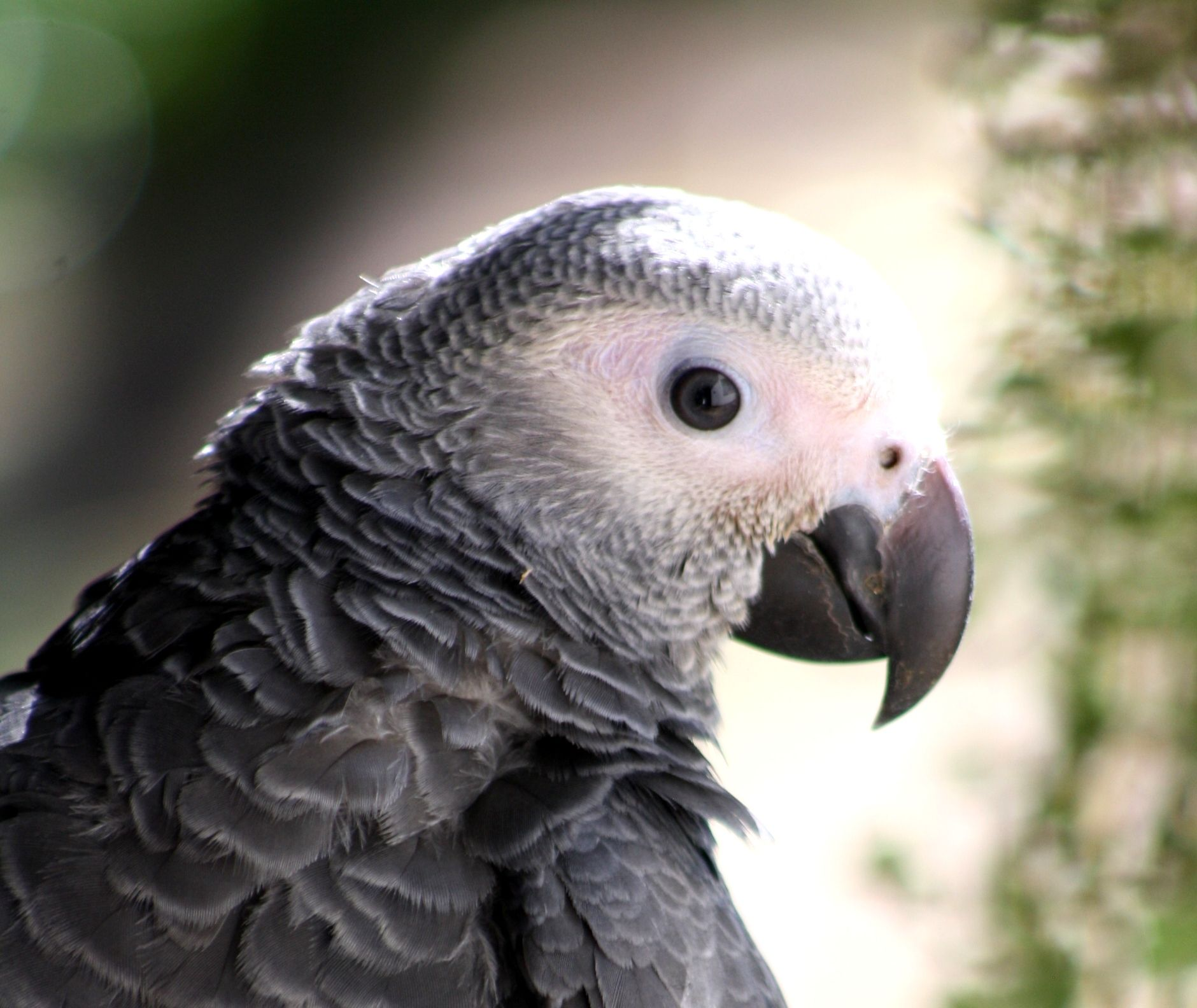 Ruby 4 Months Old African Grey African Grey Parrot African