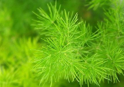 die besten 25 zierspargel ideen auf pinterest asparagus fern chinesische geldpflanze und. Black Bedroom Furniture Sets. Home Design Ideas