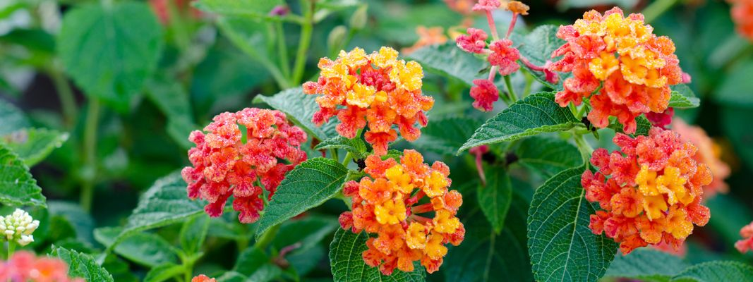 Piccole piante da fiore resistenti al caldo cose di casa for Piante rampicanti sempreverdi resistenti al freddo