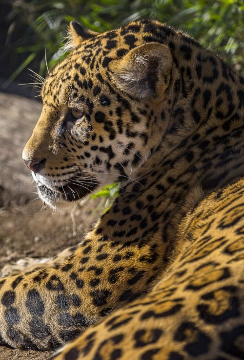 As The Only Big Cat Species In The New World, Jaguars Have Dominated The  Rituals And Stories Of The People Who Live There. Depictions Of Jaguars Are  Found ...