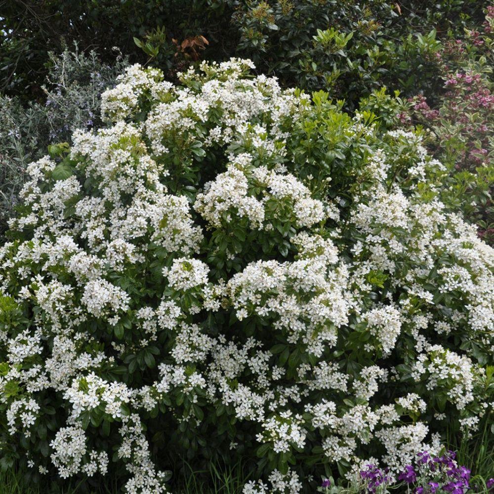 un arbuste persistant la floraison blanc pur d licatement parfum e id al en massif plante. Black Bedroom Furniture Sets. Home Design Ideas