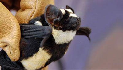 Descubren una nueva especie de #murciélago parecido a un #panda