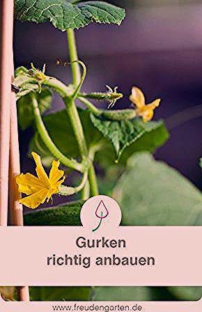 Photo of Gurken anbauen, pflanzen, pflegen, ernten
