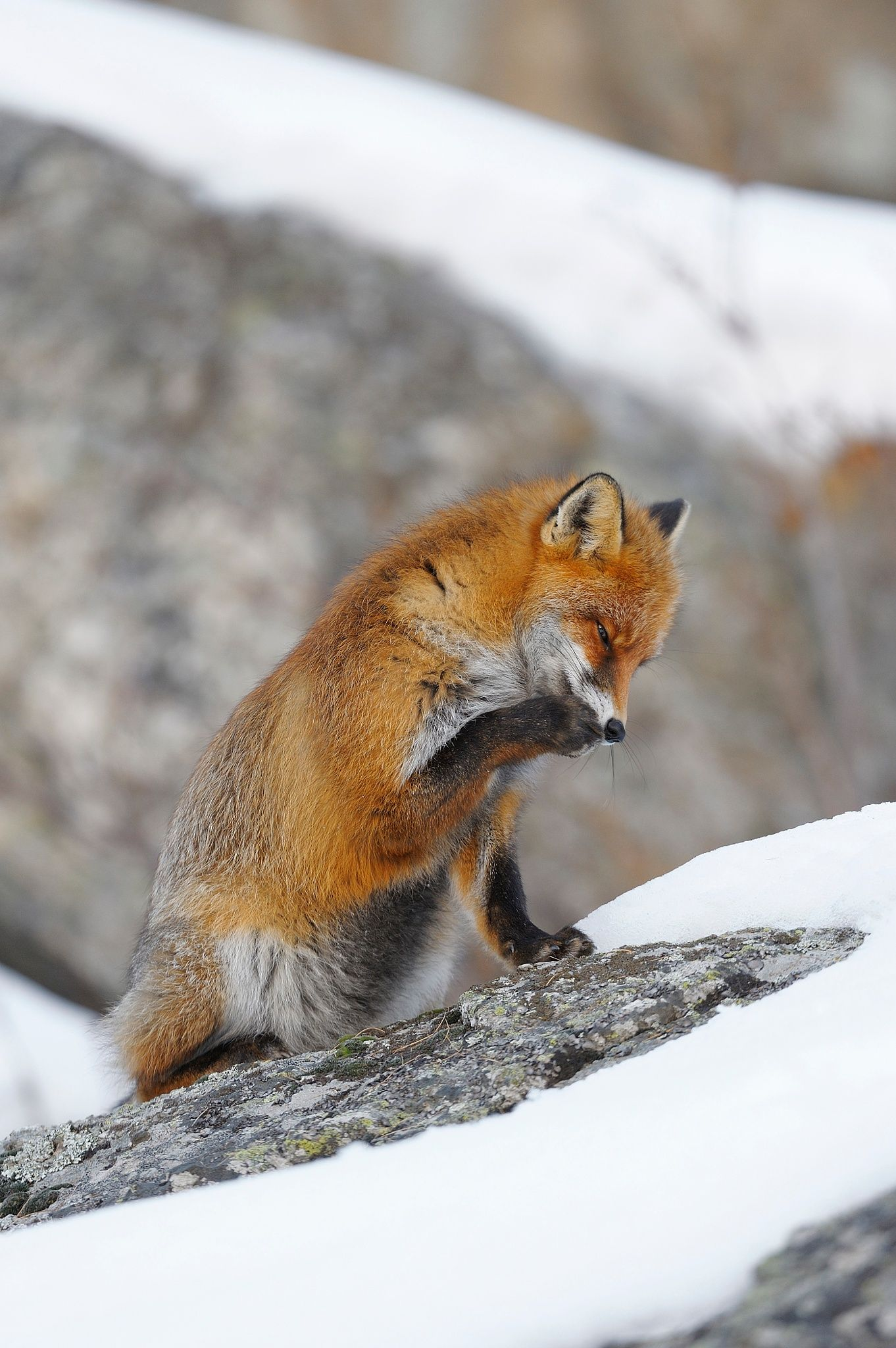 Red Fox by Radius Images - Michael Breuer on 500px