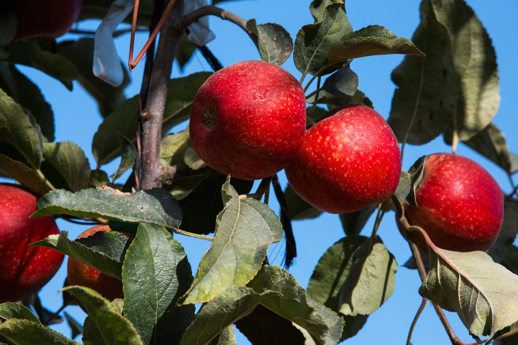 Many breeders have been trying for years to develop apples