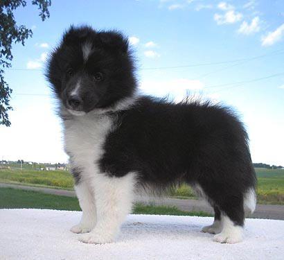 Bi Black Sheltie Belmark Shelties Sashes Puppies Shetland