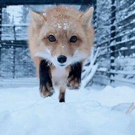Fox being cute af #cutefox