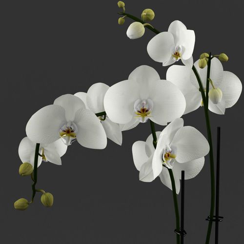 White Orchid In Glass Pot With Stones 3d Model White Orchids Beautiful Orchids Orchids