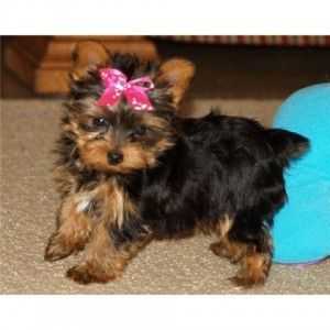 Yorkie Puppies Kansas City Mo Asnclassifieds Yorkie Puppy