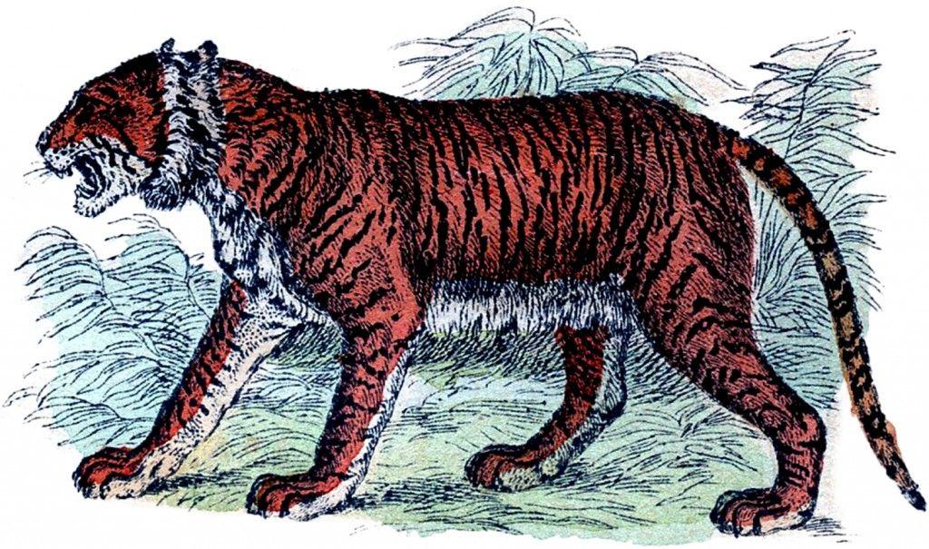 Photo of Free Vintage Tiger Clip Art !