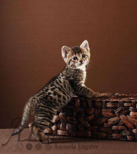 Savannah Pictured Is F3 Female Males F1 12 000 22 000 F2 9 600 16 600 F3 4 100 6 600 F4 1 800 3 600 F5 1 Spotted Cat Cat Breeds Magic Cat