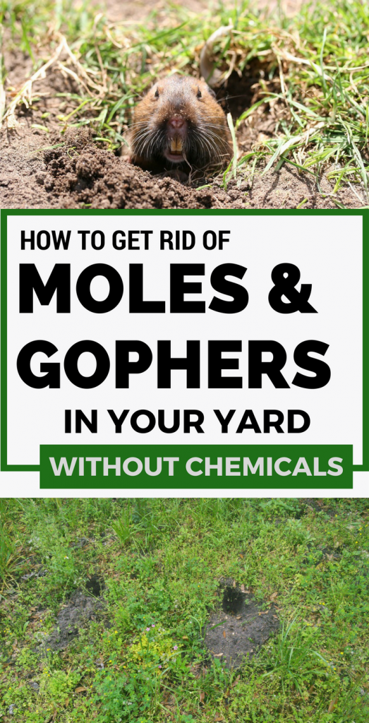Learn How To Get Rid Of Moles And Gophers In Your Yard Without Chemicals Garden Pests Moles In Yard Garden Pest Control