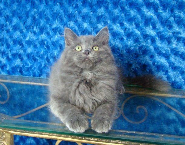 Love Ragdolls Cannon Blue Solid Male Ragdoll Ragdoll Kitten For Sale Unique Cats Siberian Cats For Sale Cute Cats